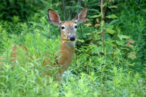 Deer eating vegetation